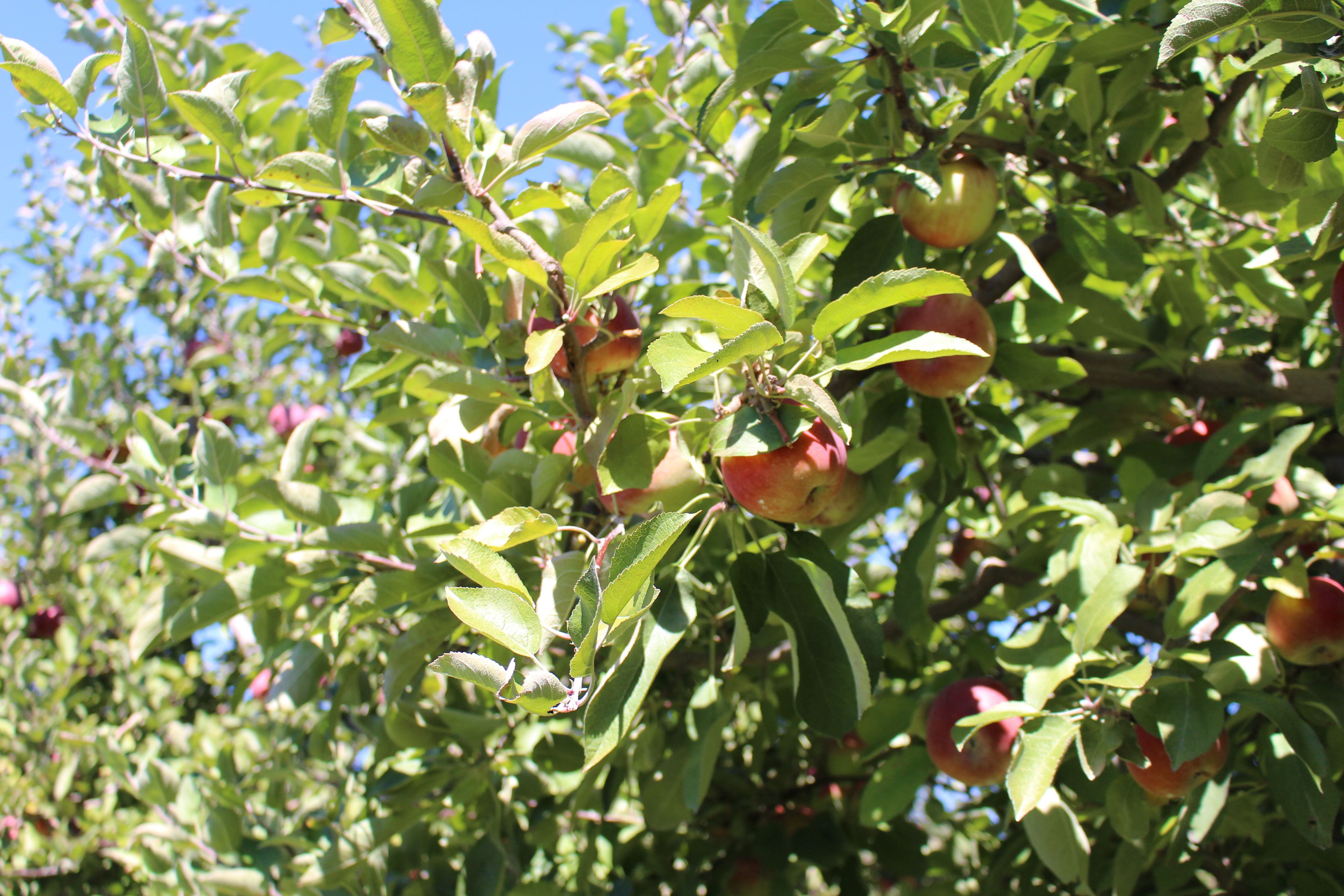 A Fruitful Trip to the Apple Orchard